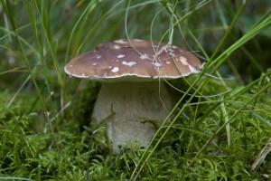 Белые грибы (1)